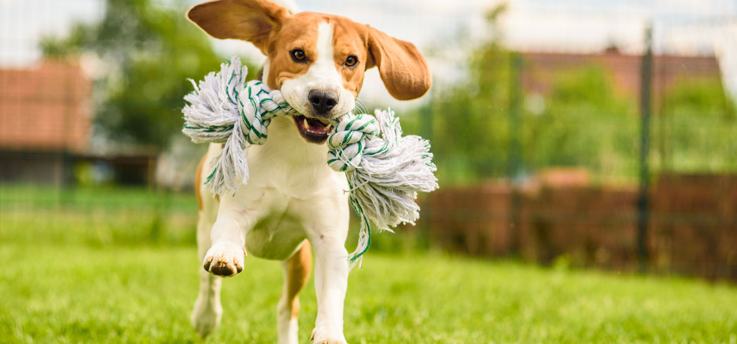 beagle running with chew toy
